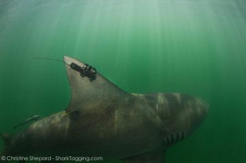 A mighty bull shark swims off with a satellite tag after a swift and successful data collection session.