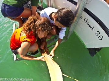 Helping students measure a big and beautiful nurse shark