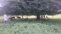 Herd of wild deer at Wollaton Hall, Nottingham, England