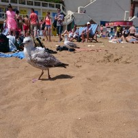 Juvenile gull on Broadstairs beach, England, UK