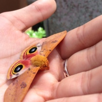 A stunning male io moth (Automeris io)