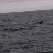Finback whale off of the coast of Maine, US