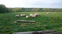 Flock of sheep grazing in the meadow. Canterbury, Kent, England
