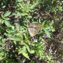 Local butterfly species known as the White Peacock (scientific name: Anartia jatrophae, order: Lepidoptera)