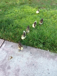 Muscovy ducklings in search of food.