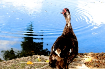 An adult male Muscovy duck gazing over the lake in my backyard. Photo taken by Alexandra Cruz