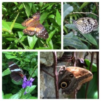Wings of the Tropics exhibit at Fairchild Tropical Gardens! Featured [top left: painted lady, top right: the paper kite (or wood nymph butterfly), bottom left: Sara longwing, bottom right: tawny owl butterfly]