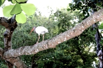 A mature Ibis traversing a branch. Photo taken by Alexandra Cruz
