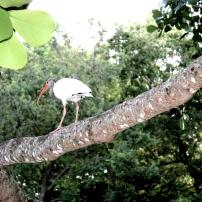 A mature Ibis traversing a branch. Photo taken by Alexandra Cruz