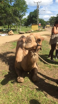 Lovely dromedary camel up close at Cuba's Zoológico de la Habana.