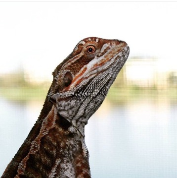 Rango, the breathtaking bearded dragon